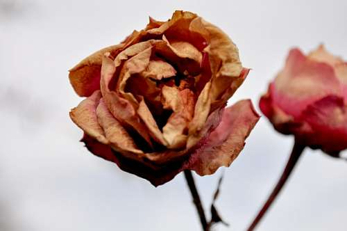 free images  pink, dry, dry, rose withered winter, nobody, flow