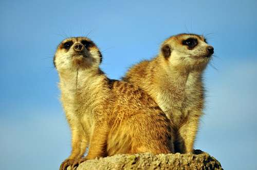 Meerkat, Mongoose, Animal, Human Events, Social Is