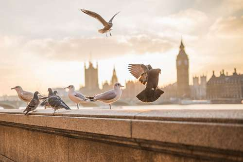 free images  Pigeons