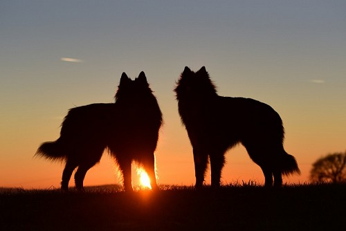 Belgian shepherds in the sunset