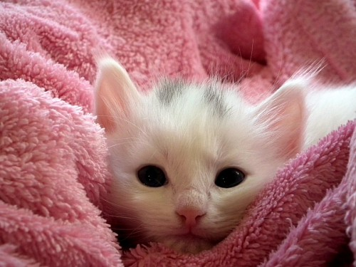 Baby kitten on pink plush for wallpaper