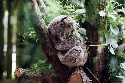 free images  koala