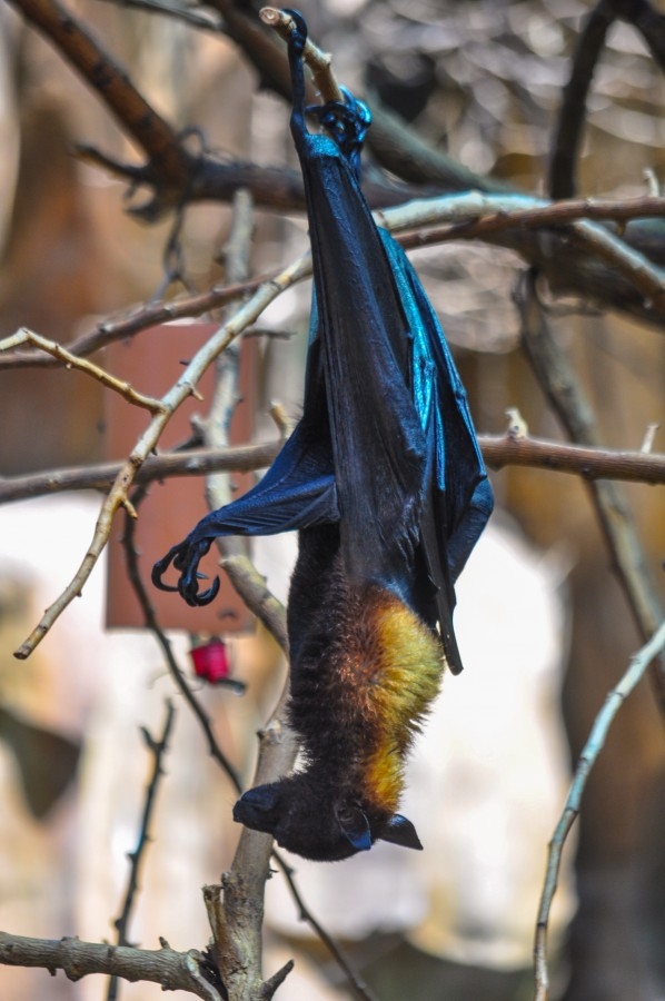 Nocturnal, bat, wings, branches, hung, wild animal, Pteropus vampyrus, Foxes Volares, frugivores, crepuscular