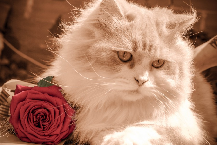 Image Of Romantic Cat Together With A Rose For Wallpaper Free Photo 100010498