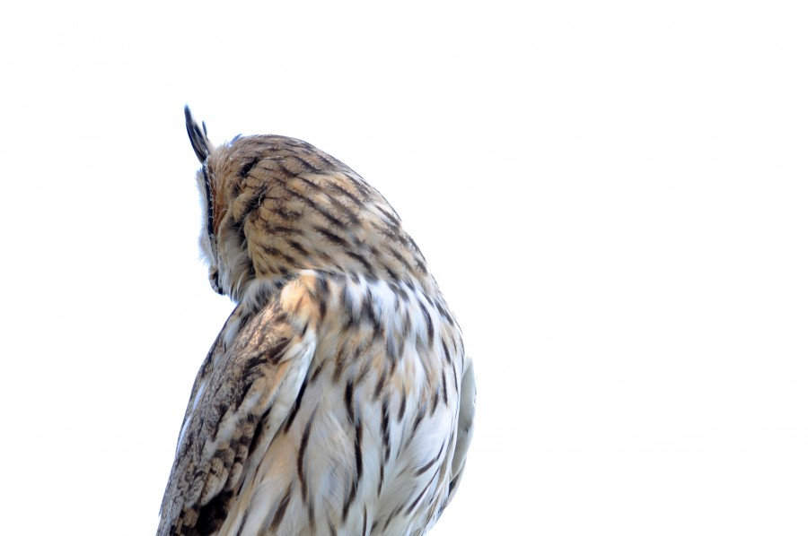 One animal, owl, white background, back view