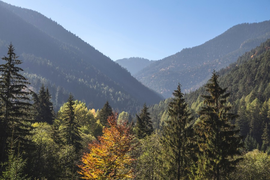 free images  Pine Forest