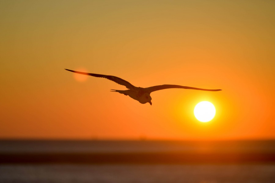 Ocean, Orange, Seagull, Sky, Sunset, Yellow, animal, bird, flight, flying, sun, sunrise,