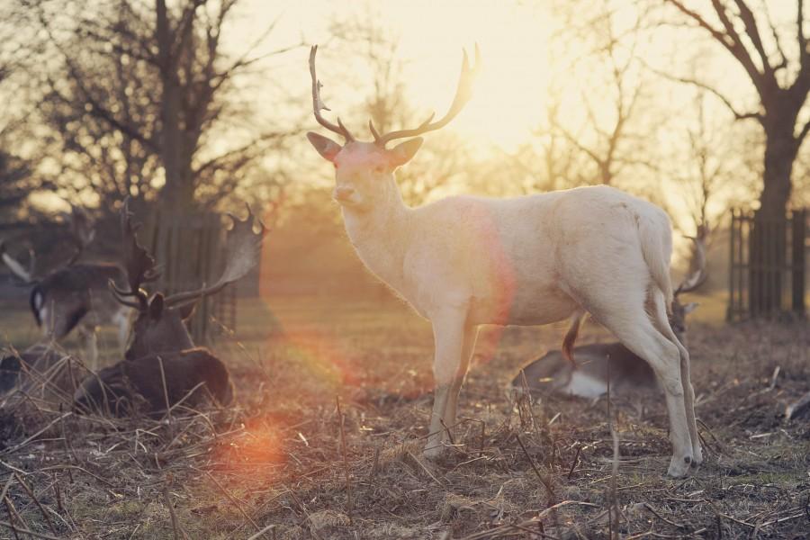 animal, deer, wild, idyllic, sunset, landscape, nature, animals, looking at camera, sunset,