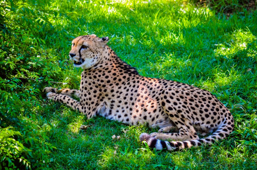Cheetah, spots, fast, animal, wild, feline, carnivore, hunter, Acinonyx jubatus, steppe, savannah, africa, mane, fur, exotic, animal faster, Lawn, green, nature