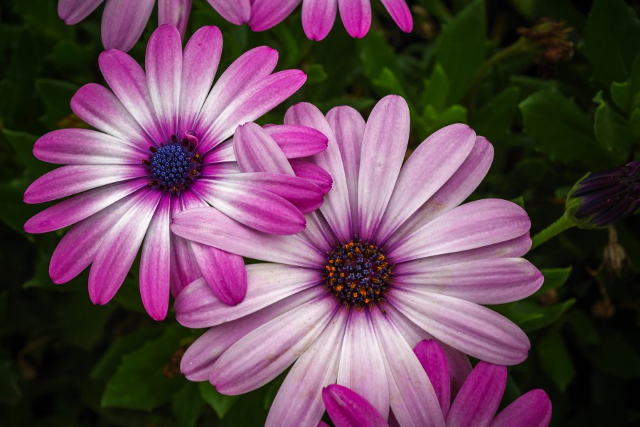beautiful, flower, flora, flowers, wallpapers hd, leaves, nature, natural beauty, violet, pink, green, leaves, spring, bud, petals, color gradient, bloom