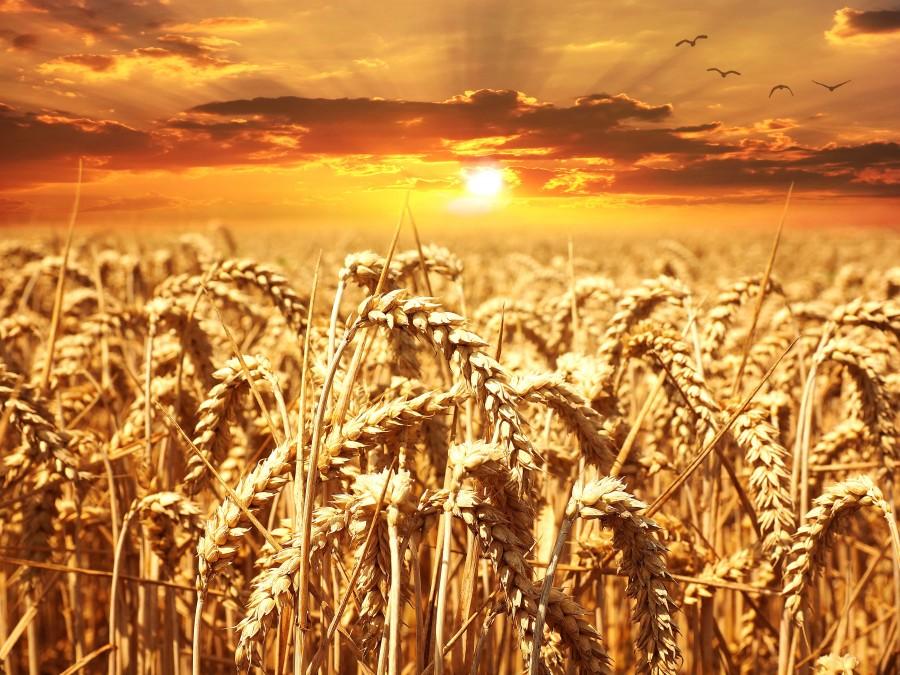 wheat, sunset, field, nature, culture, golden, spike,