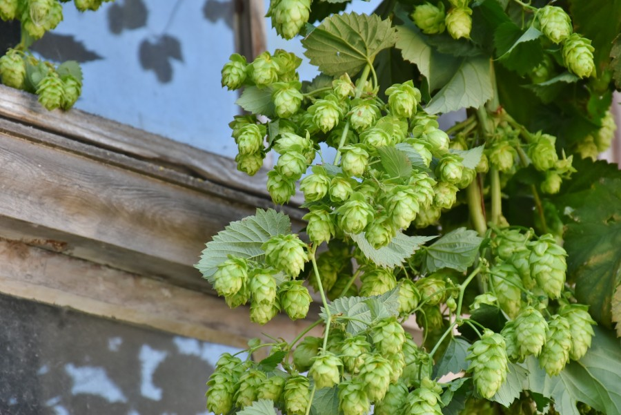 Hops, plant, detail, nature, exterior, fruit, flower, bitter, beer, craft,