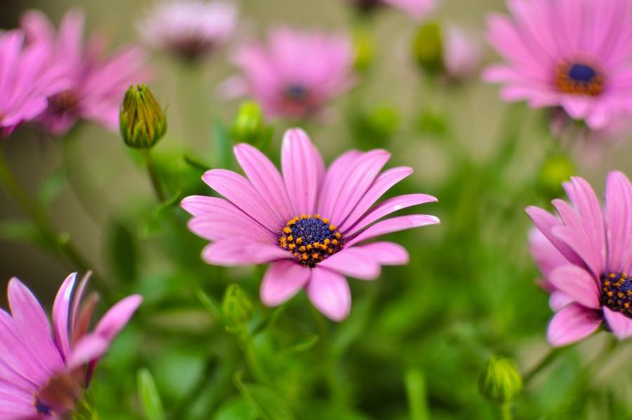 flowers, spring, garden, plant, earth, flower, bud, bud, bud, daisy, lilac, nature, purple Osteospermum, 4k wallpaper