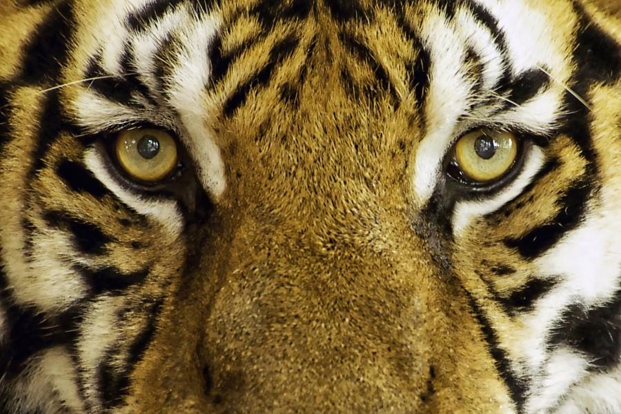 face, tiger, print, mammal, power, yellow, fur, black, energy, strength, cat, predator, skin, elegance, danger, wild, wildlife, white, leaf, head, feral, portrait, stripes, nature, pattern, big, eye, bengal, animal