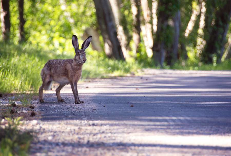 hare, animal, one, road, forest, wild,