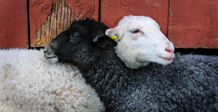Lamb, friendship, hug, animal, sheep, white, black, tender, adorable, animal love, countryside, farm animals