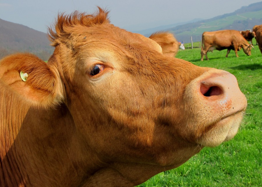 cow, animal, head, close-up, cattle, field, looking at the camera, industry, brown, hair,