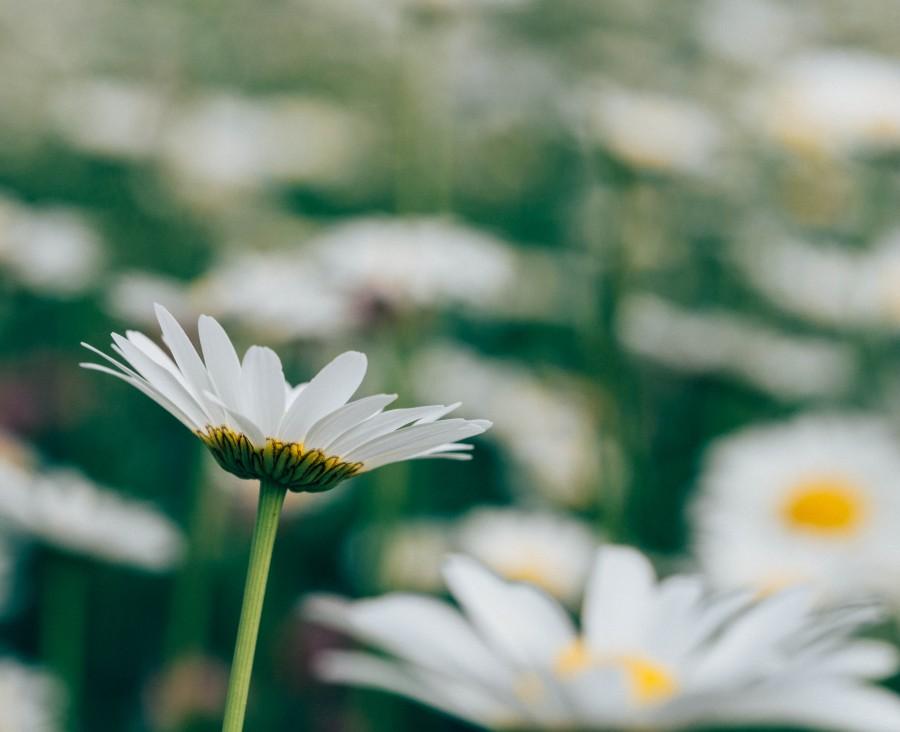 flower, nature, seen below, daisy, white, sky, petal, petals, plantation, field, flowers,