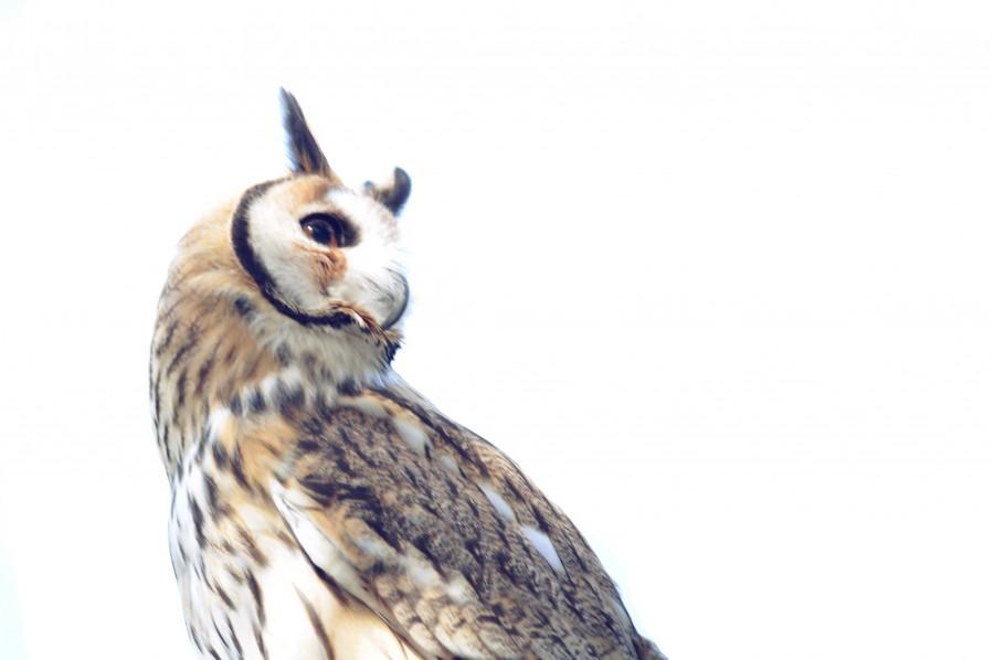 One animal, owl, white background