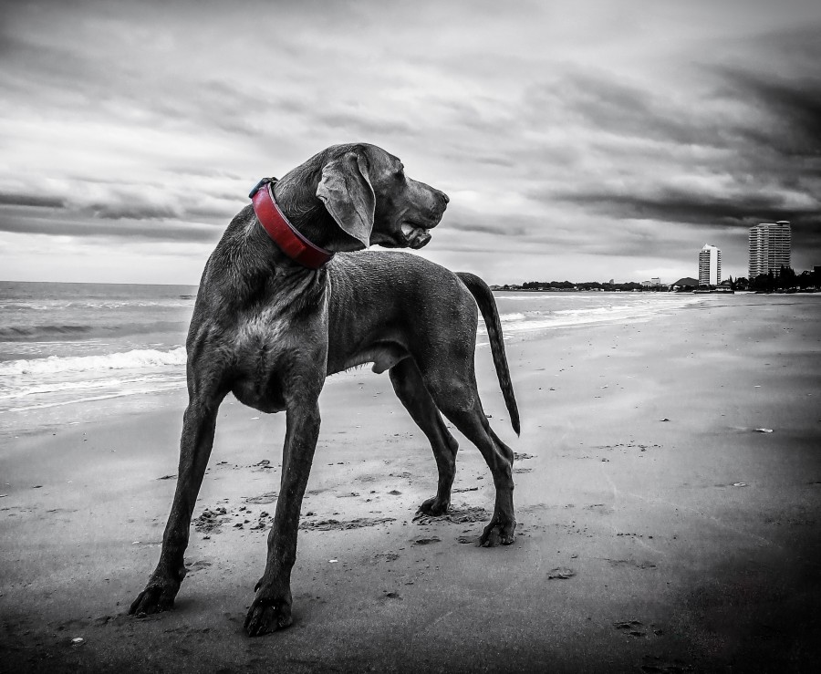 Beach, sand, clouds, black and white, Pet, Dog, Animal, Cute, Portrait, Cut Out, Cheerful, Looking At Camera, Studio Shot, Mouth Open, Color, Carefree, Animal Mouth, One Animal, Photography, Animal Body Part, Fur, mane, adorable, tender, sweet, playful, kind, friend, faithful friend, faithfulness, Tenderness, pet, pet, family, Pets, animals, breeds, thoroughbred, mongrel, cheerful, sympathetic, nice, cuddly, loving, Hound, puppies, Images, free images, photography, free