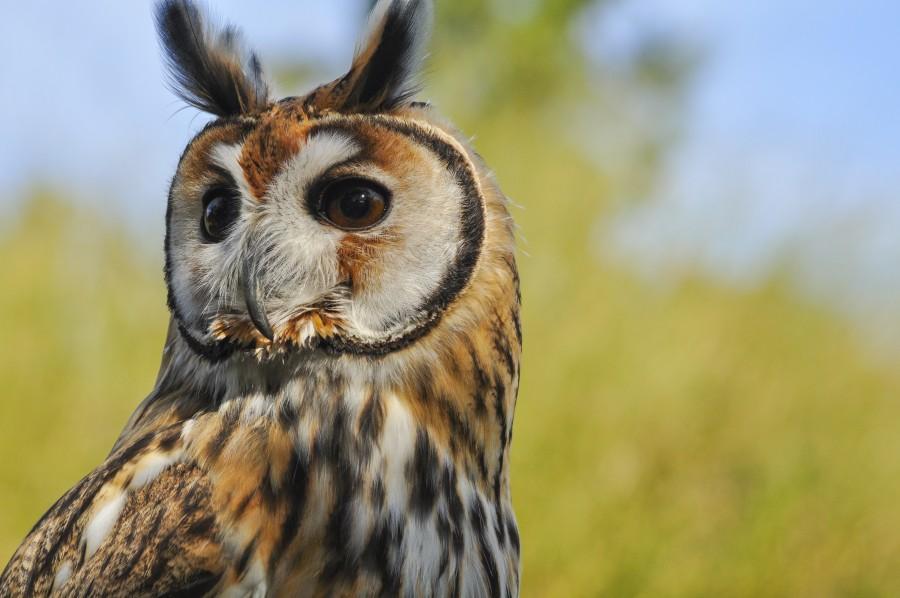 owl, animal, bird, Barn Owl, nocturnal raptors, feathers, wings, ears, wild animal, wildlife, species