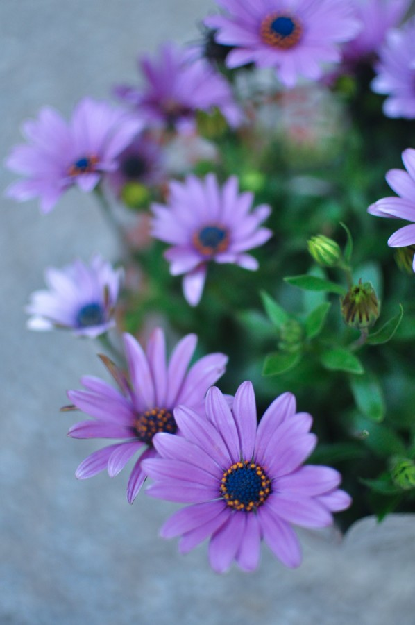 flowers, spring, garden, plant, earth, flower, bud, bud, bud, daisy, lilac, nature, green, leaves, pollen, purple Osteospermum