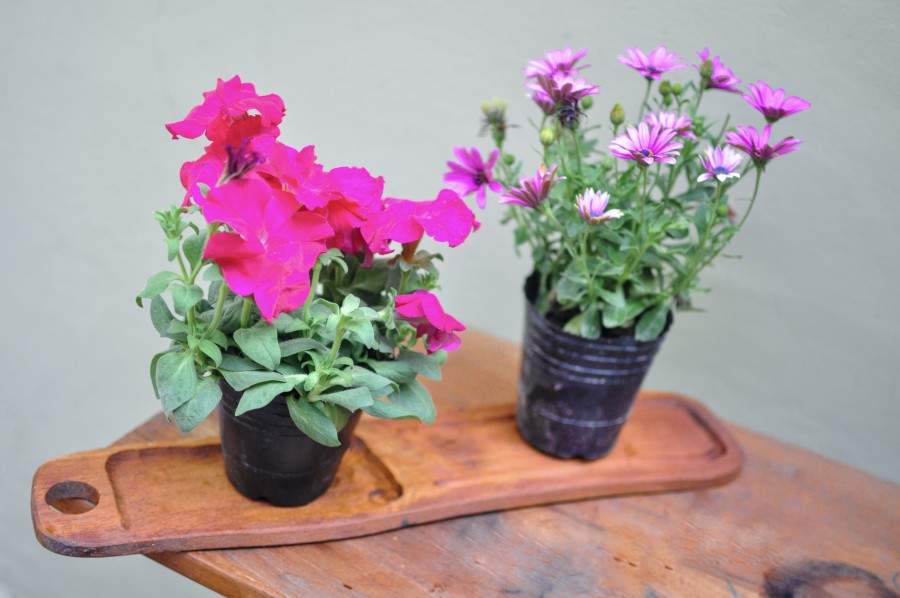 flowers, spring, garden, plant, earth, flower, bud, bud, bud, daisy, lilac, nature, green, leaves, container, wood, table