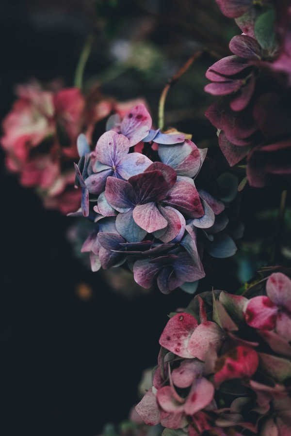 Flowers, nature, petals, plants, beauty, colorful, spring, hydrangeas