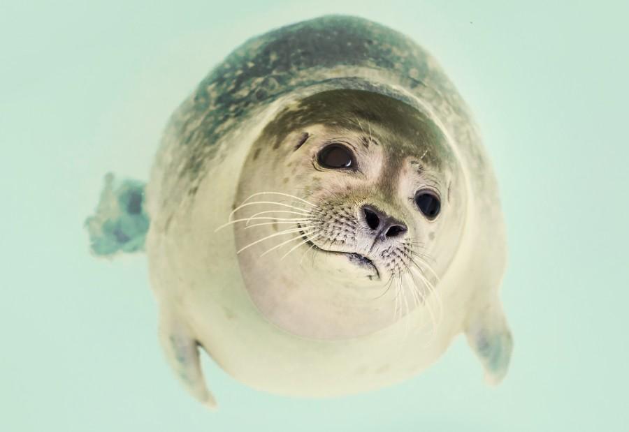 seal, animal, wild, closeup, gentle, nature, marine, wildlife,