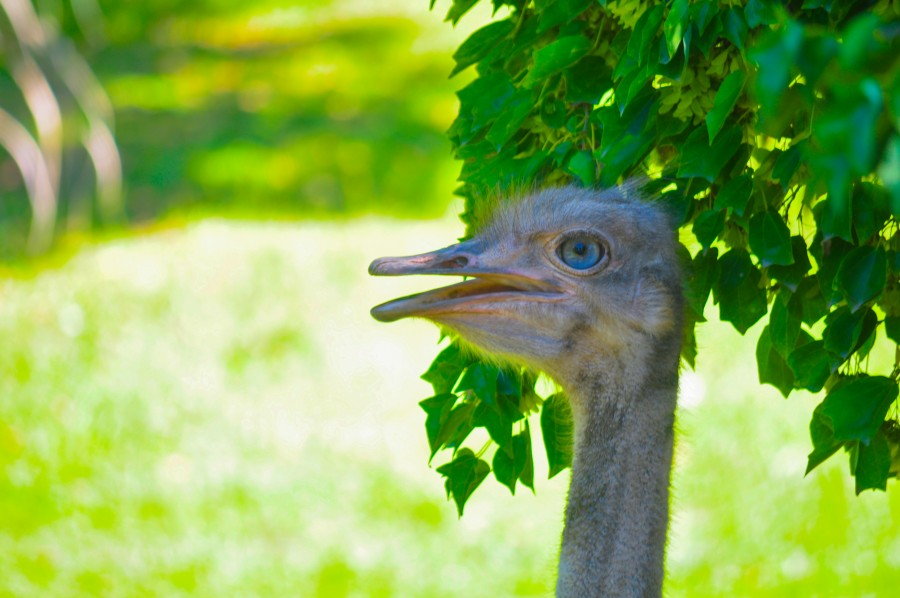 animal, bird, birds, ostrich, Struthio camelus, taxonomic, Africa, giant bird, large and heaviest bird in the world, long neck, feathers, close-up, look, ratites, fast, sexual dimorphism, omnivores, profile, peak