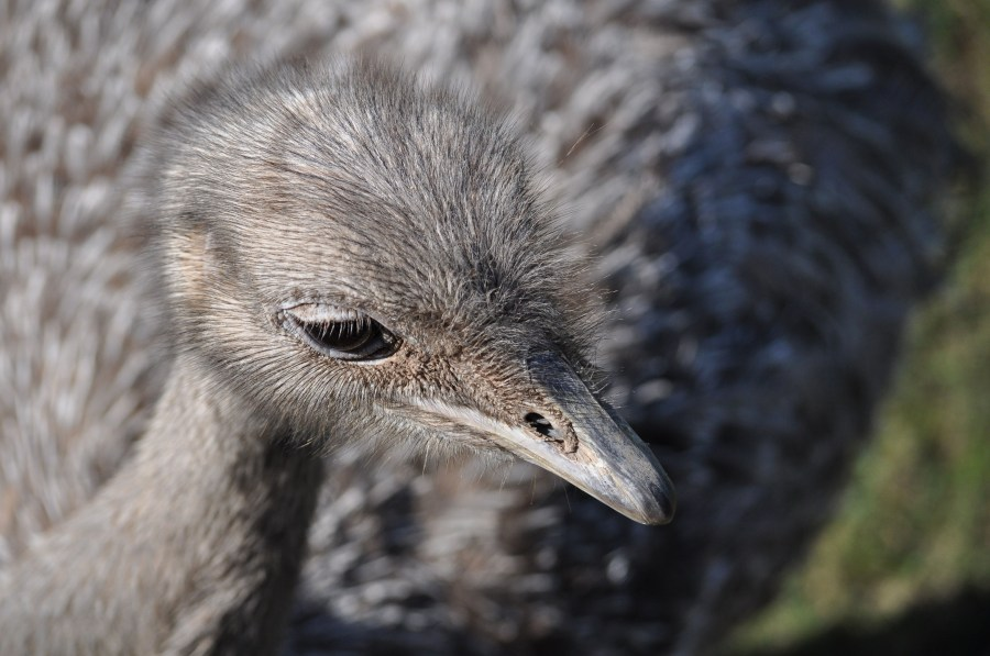 Ostrich, animal, bird, eye, feathers, plumage, beak, fast, speed, Africa, African, Height, Animal, Beautiful, Bird, Ostrich, Bird, Head, Conservation, Conserve, Neck,Struthio camelus