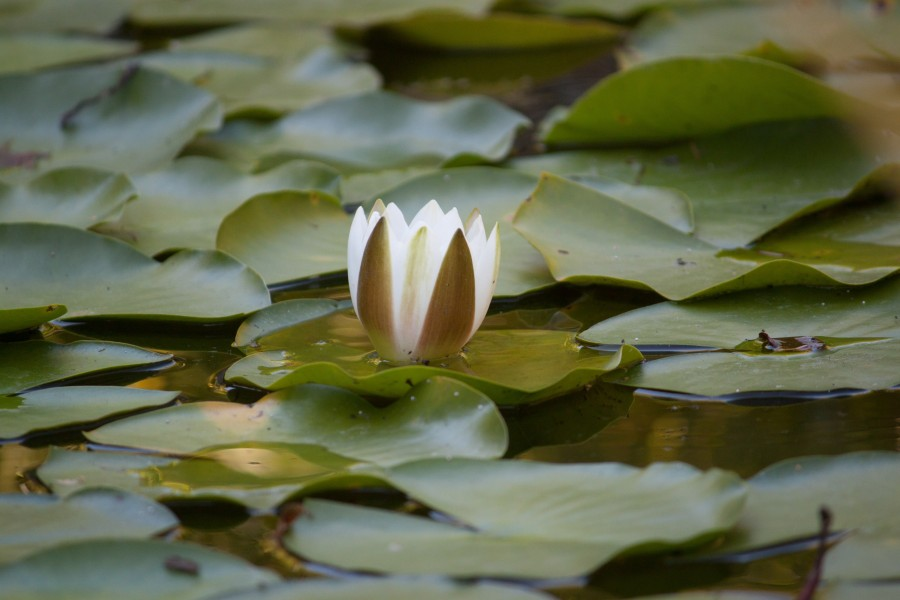 Image of lotus flower free photo 100010099 zen relaxation lotus flower lotus leaf water pond flower mightylinksfo
