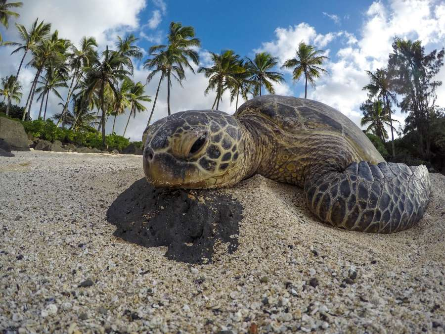 turtle, reptile, animal, face, closeup, look, serious, wild, nature, island, tropical, beach, sand,