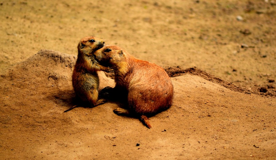 prairie dogs, friends, sweet, animals, animal world, parents, darling, cute, funny, friendship, good, nature, together, two, affection, brown, yellow, desert, prairie