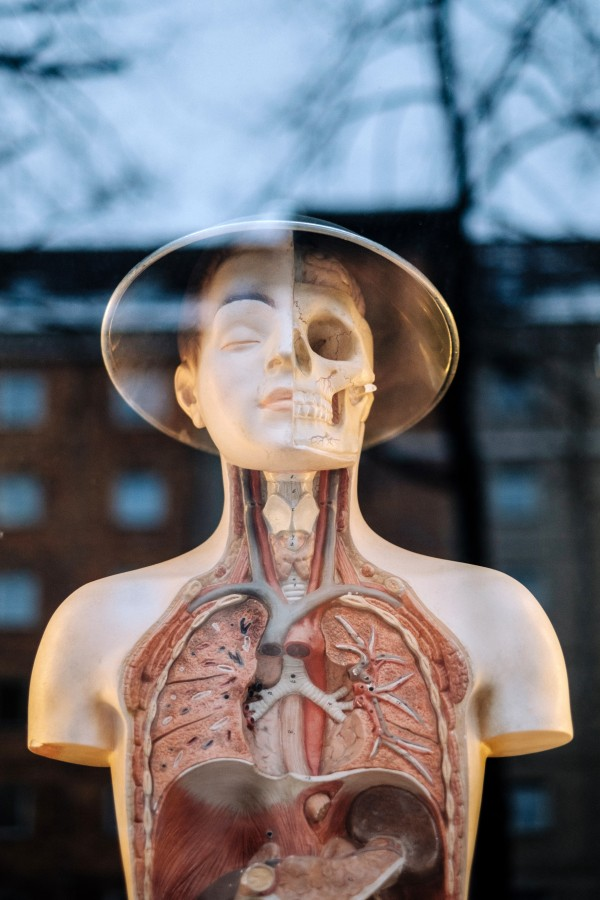 manikin, fashion, body, interior, education, medicine, glass, skeleton, organs, science,