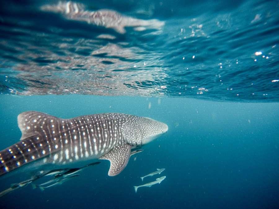 whale shark, sea, caribbean, shark, exotic, marine life, fauna, ocean, animal, predator,