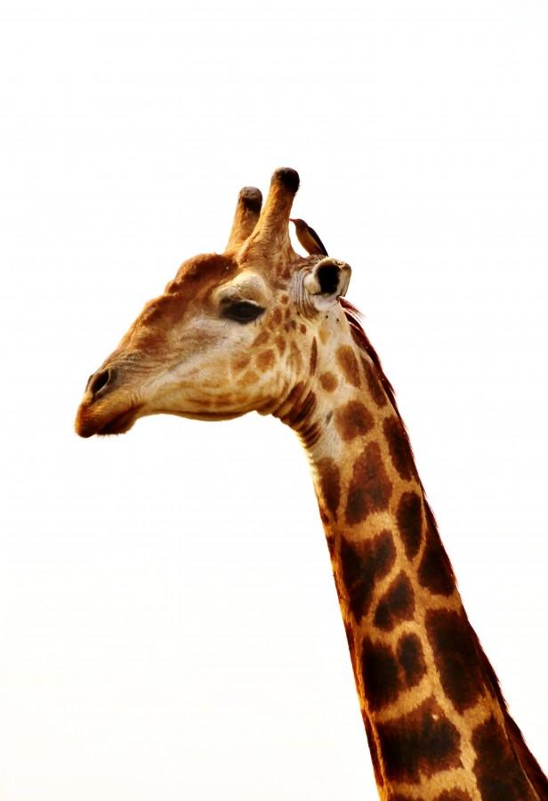 giraffe, animal, white background, foreground, neck,