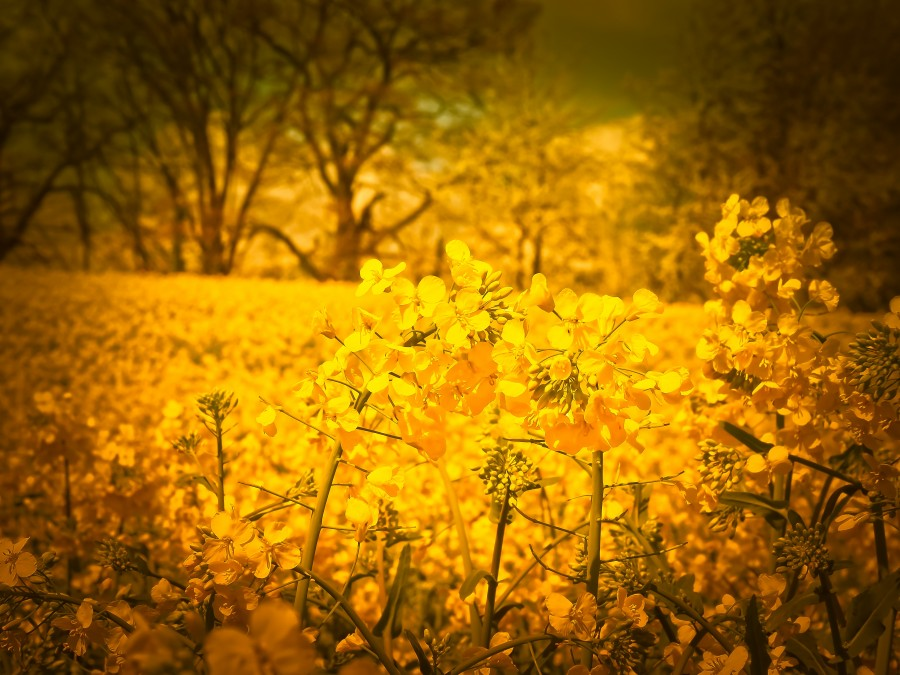 flowers, yellow, closeup, outdoor, spring, nobody, wild, field,
