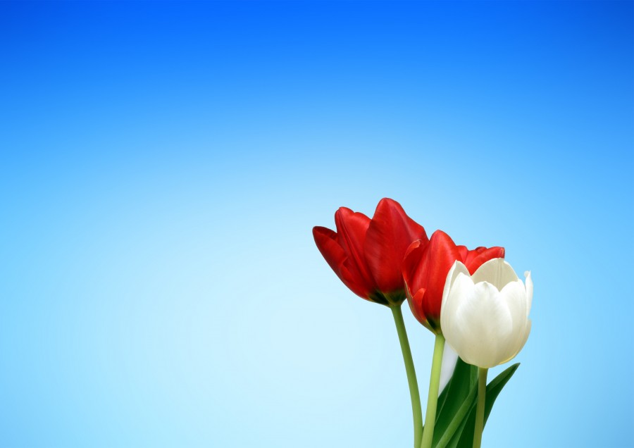 tulips, red, white, spring, aesthetics, wallpaper, blue, flower, flowers, color, flora, background, background image, map, free photos, free images