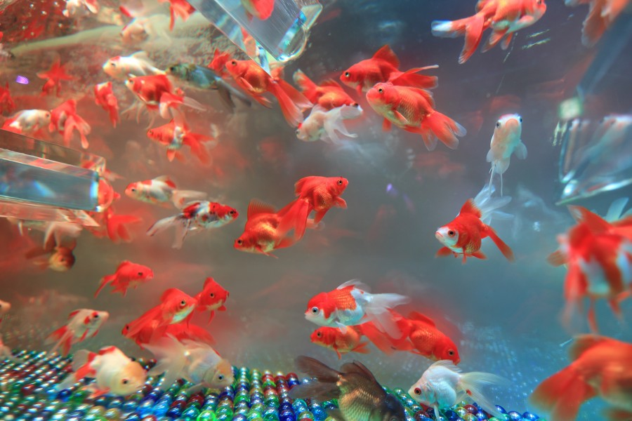 aquarium, fish, fish, long, pet, red, orange, close-up, fishbowl
