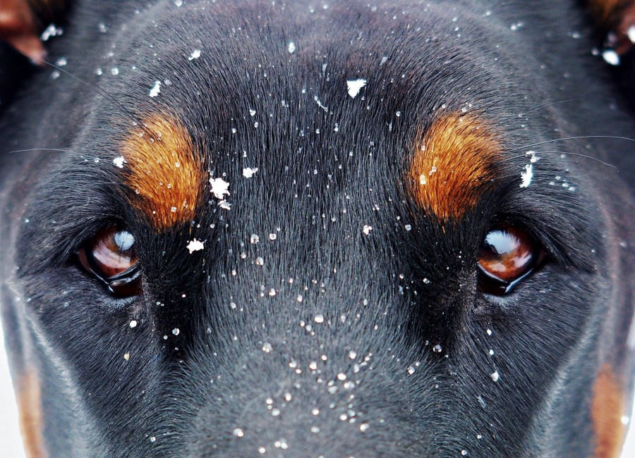 Look, intensity, eyes, brown eyes, black, brown, penetrating, intense, snow, snowflakes, cold, winter, Pet, Dog, Animal, Cute, Portrait, Cut Out, Cheerful, Looking At Camera, Studio Shot, Mouth Open, Color, Carefree, Animal Mouth, One Animal, Photography, Animal Body Part, Fur, mane, adorable, tender, sweet, playful, kind, friend, faithful friend, faithfulness, Tenderness, pet, pet, family, Pets, animals, breeds, thoroughbred, mongrel, cheerful, sympathetic, nice, cuddly, loving, Hound, puppies, Images, free images, photography, free