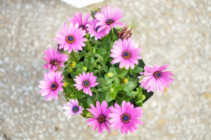 flowers, spring, garden, plant, earth, flower, bud, bud, bud, daisy, lilac, nature, green, leaves, purple Osteospermum