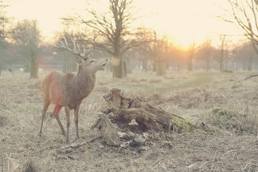 animal, deer, wild, idyllic, sunset, landscape, nature, animals, sunset,