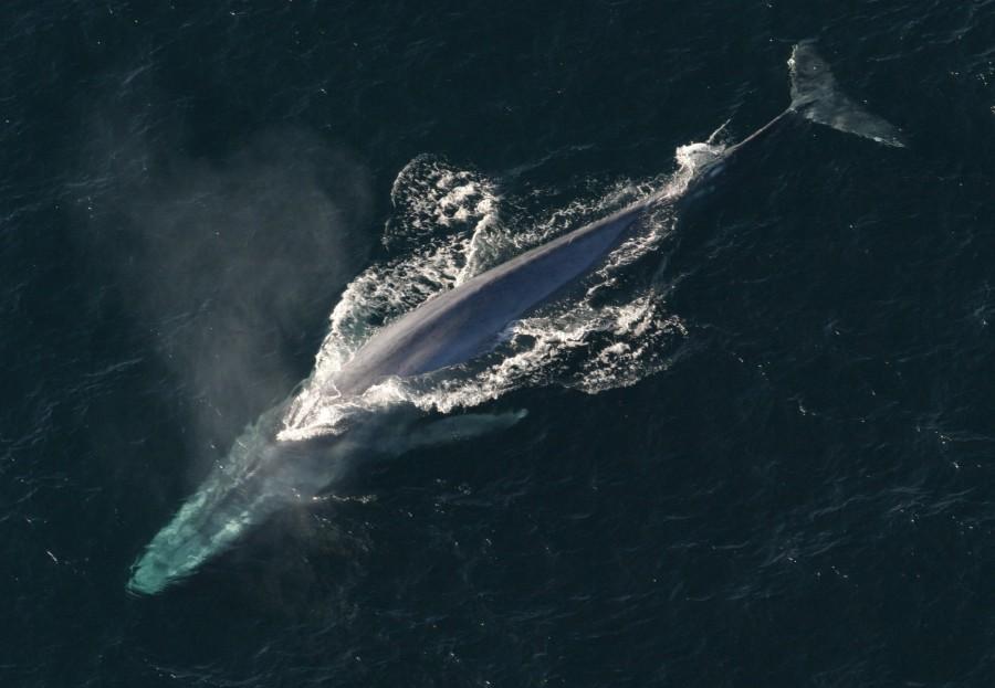 blue whale, aerial view, animal, mammal, whale, ocean, marine life,