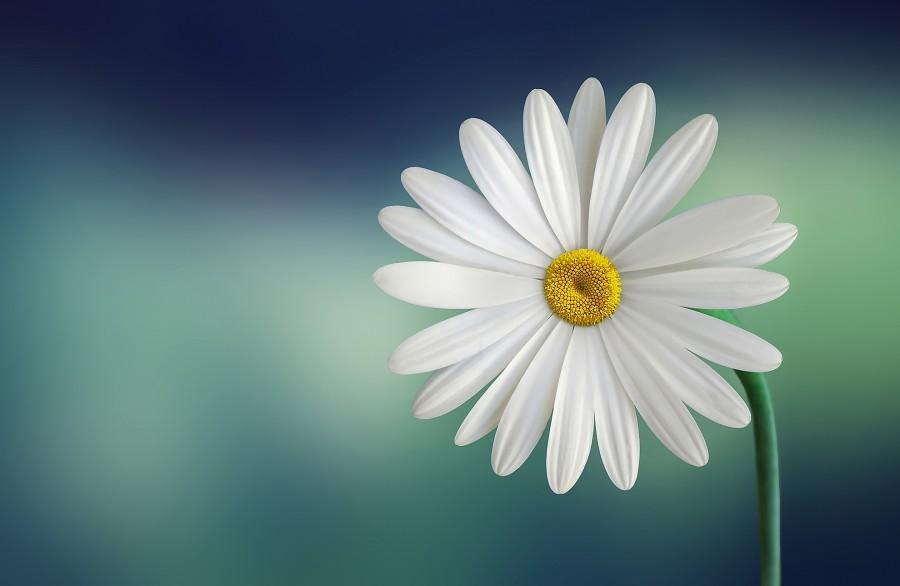Daisy, flower, petal, petals, nature, closeup, spring, one, white,