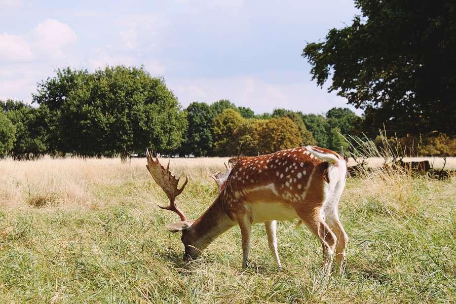 deer, animal, exterior, deer, nature, grazing, posture, horns, antlers,
