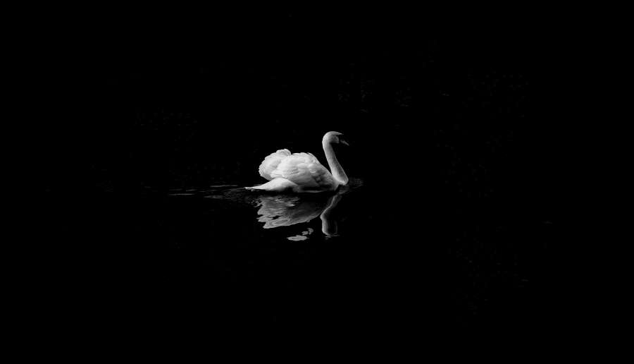 Image Of Swan On The Lake Free Photo 100011308