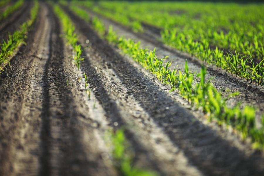 splitshire, corn, farming, planting, growing, industry, field, plant,