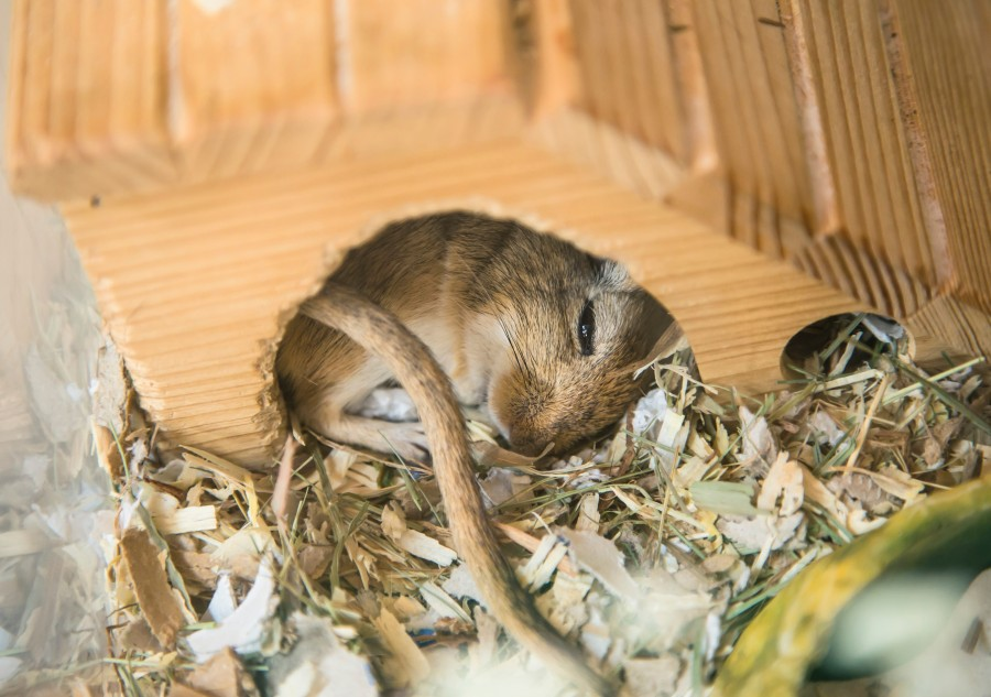 mouse, hamster, rodent, house, sleeping, sleeping, relax, rest, animal, close-up, cute