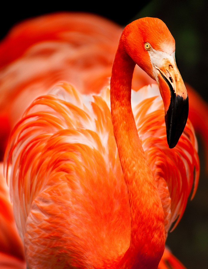 free images  Pink Flamingo